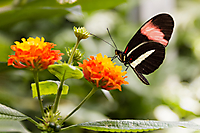 Papillon Jean