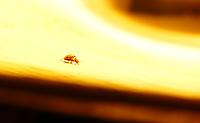 P1220073_fire_ladybug